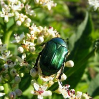 The Shiny Metallic Green Beetle: What Is It?