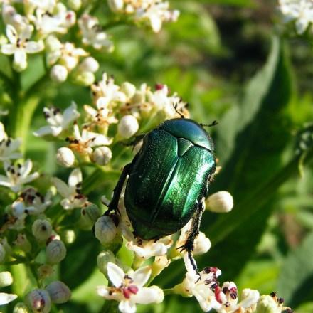 Metallic Green Beetles