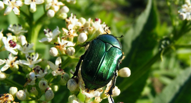 Metallic Green Beetles