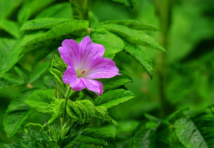 Geranium plant is seldom attacked by Japanese beetles.