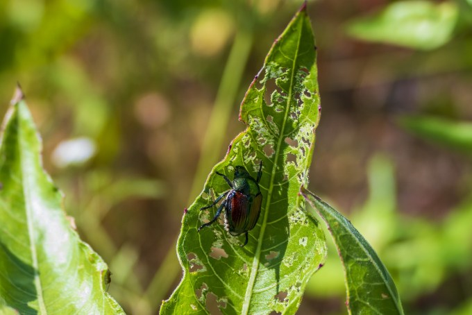 Japanese Beetle on foliage