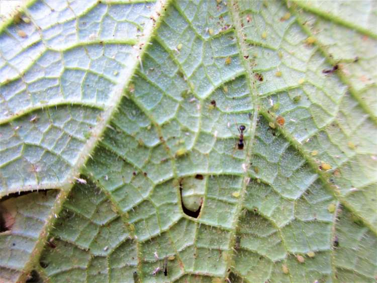 The underside of a cucumber leaf infested with aphids