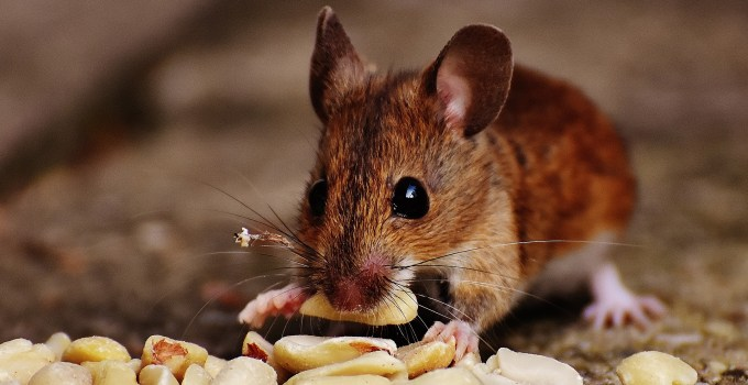 Best ways to get rid of mice in a house