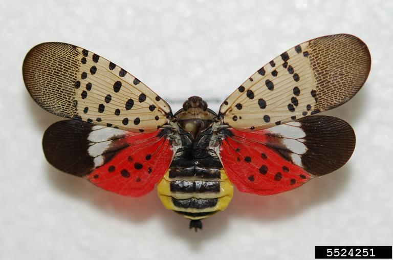 how to get rid of spotted lanternflies