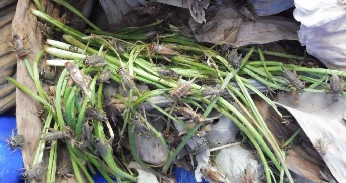 4 advice to improve your crickets farm