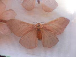 papillon-cirina-butyrospermi-the-bug-trotters