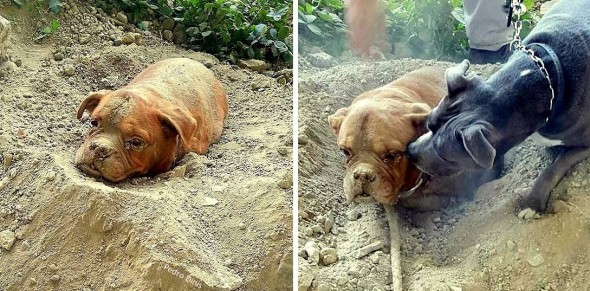 8.6.15-Dog-Buried-Aklive-Is-Rescued5-590x291