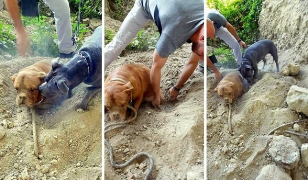 8.6.15-Dog-Buried-Alive-Is-Rescued4-590x346