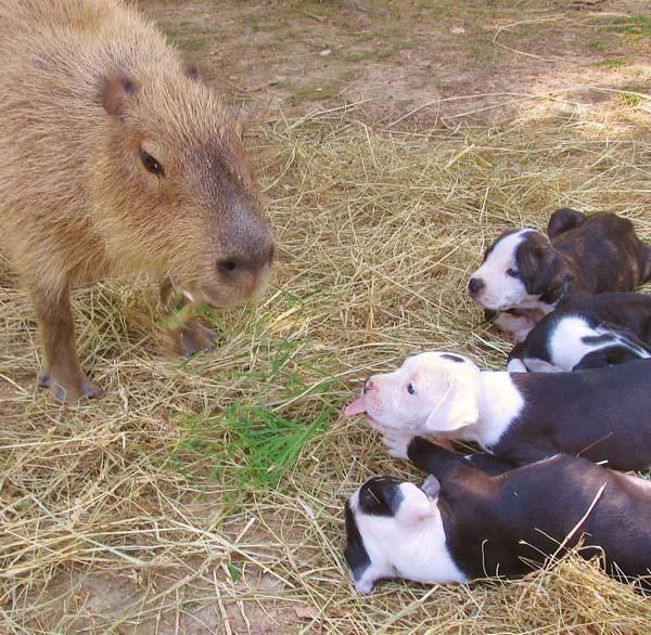bull-pups9