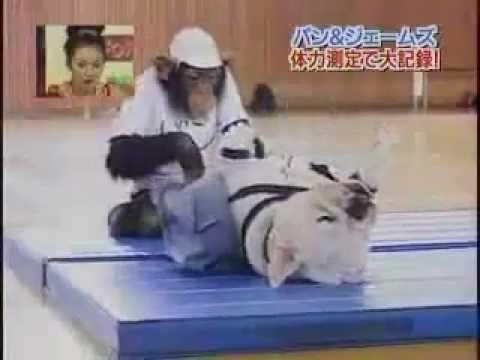 bulldog-and-chimpanzee-doing-sit