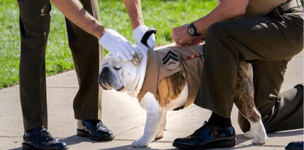 Bulldog made caporal