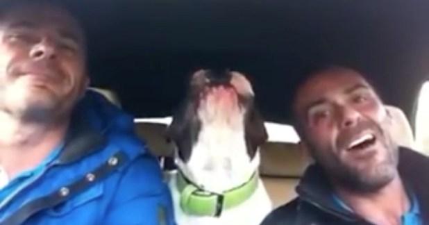singing bulldog