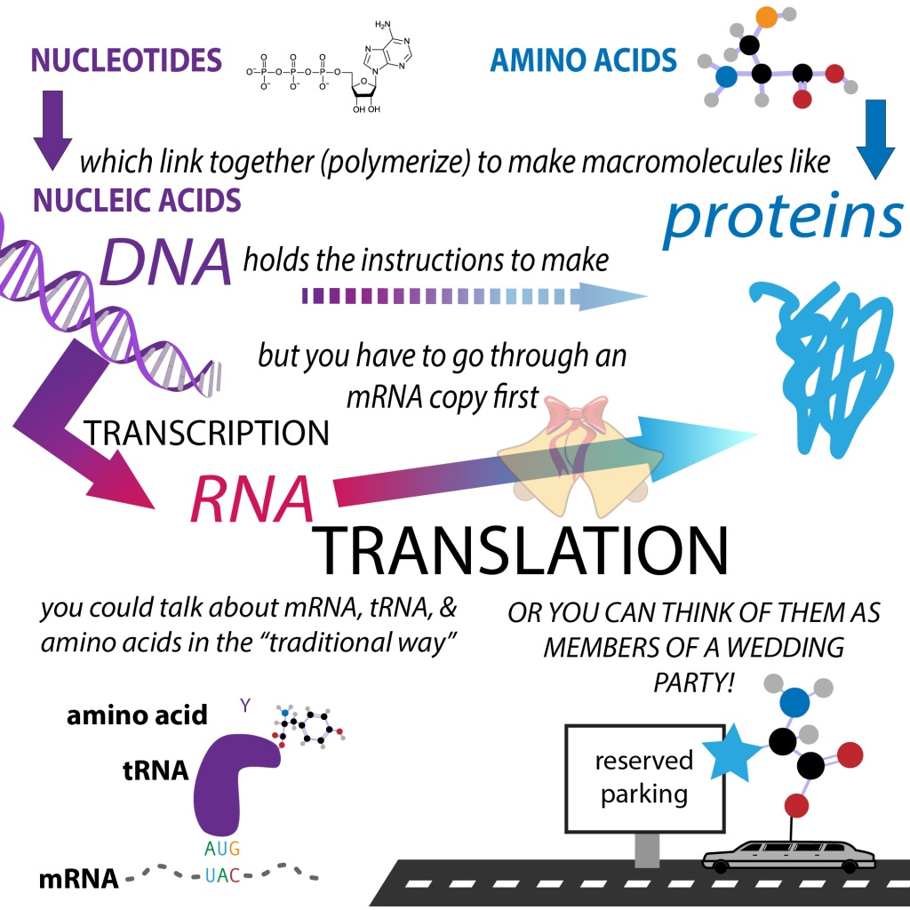 Protein Translation The Bumbling Biochemist