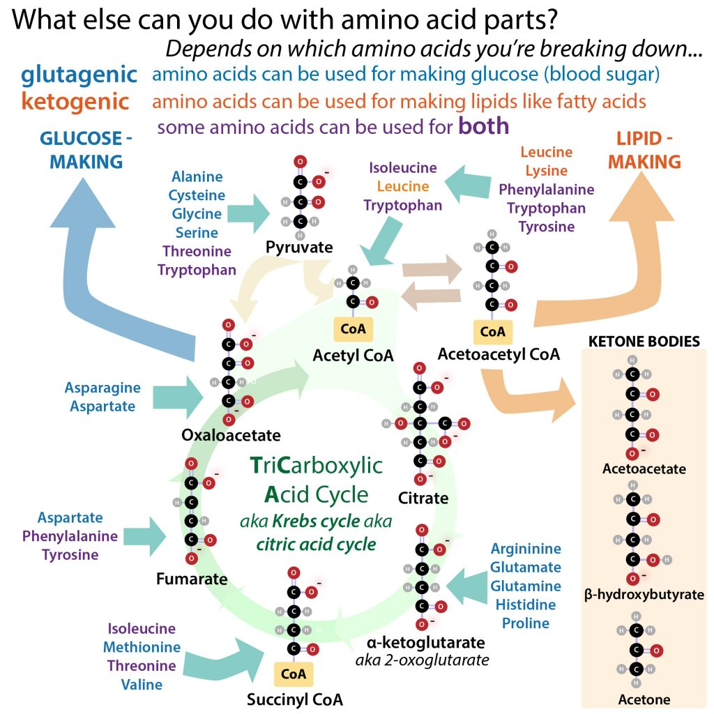 Learn And Learn To Love Your Amino Acid Alphabet The