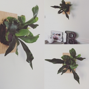 Mount your own Staghorn fern