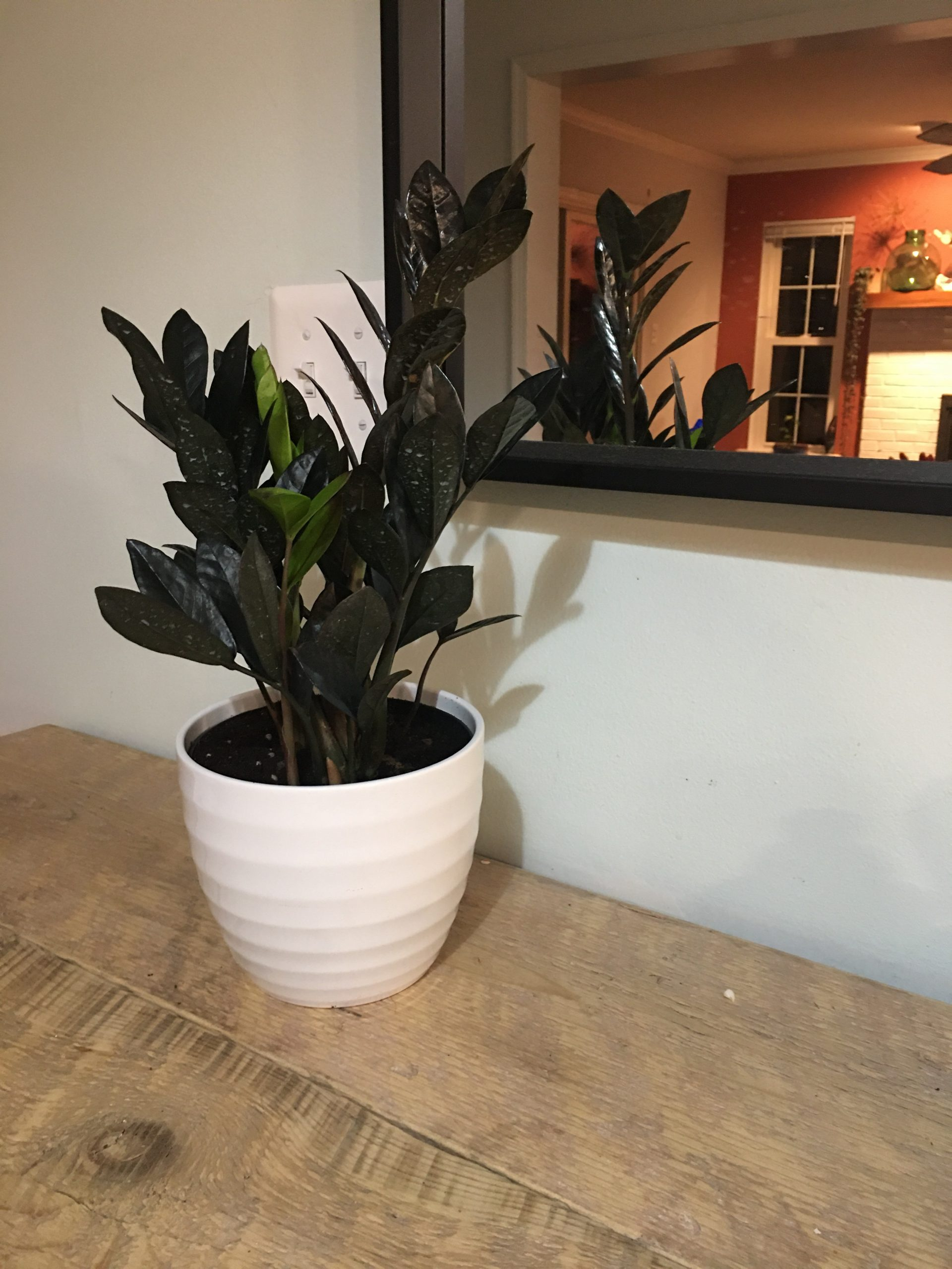 Easy houseplants  - raven zizi