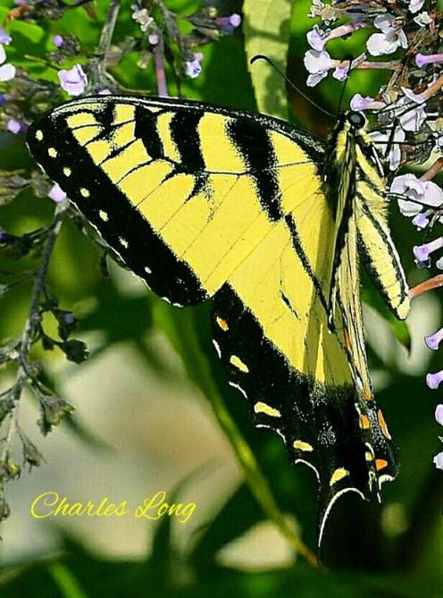 cl_butterfly_1
