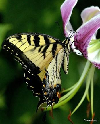cl_butterfly_10