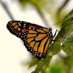 cl_butterfly_2
