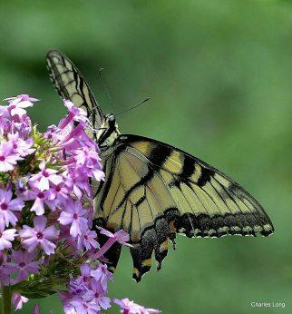cl_butterfly_7