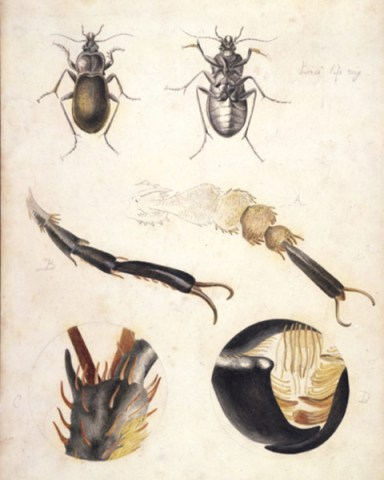 beatrix_potter_ground_beetle
