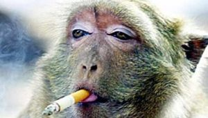 Monkeys and apes chain smoking as panic grips planet…