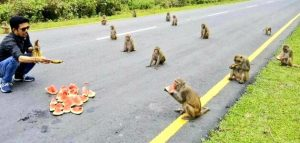Tribe of marauding monkeys stuns locals by observing perfect social distancing