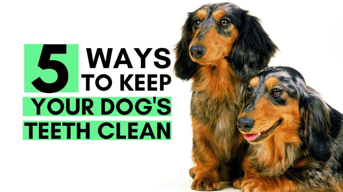 5 Ways to Keep your Dog's Teeth Clean