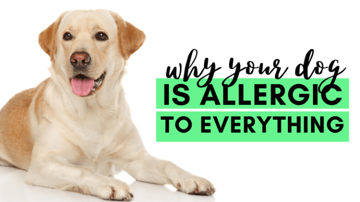 Why Your Dog is Allergic To Everything