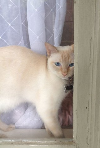 Cannoli the Siamese mix cat looks out the window