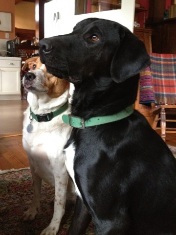 Black labrador mix and lab/sharpei mix rescue dogs