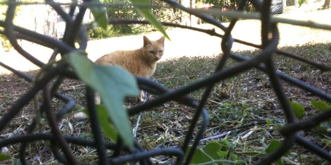 feral cat in king william