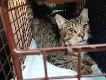This community cat took The Cannoli Fund's Community Cat Carpool to be spayed and receive vaccinations.