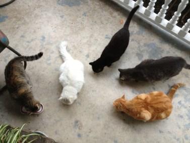 san antonio animal laws feral cat colonies