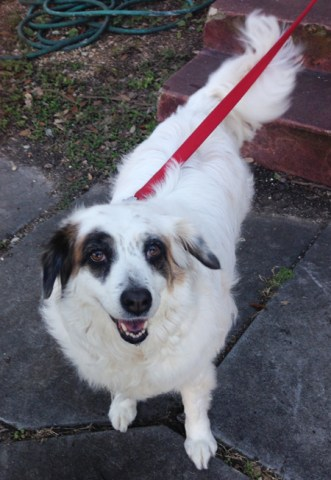 Diva the dog was the beneficiary of one of our Cannolicare medical grants for treatment for heartworm disease