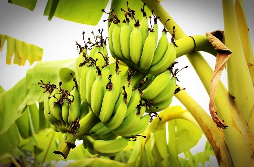 AgDevCo backs Mozambique banana estate in year's second new deal