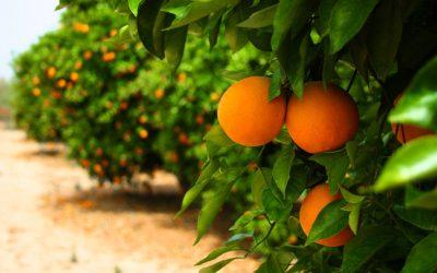 Florida's orange groves continue to shrink