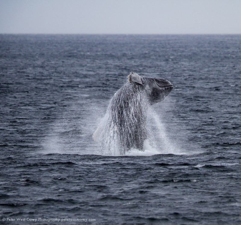 Breaching Humpback Whale, Alaska