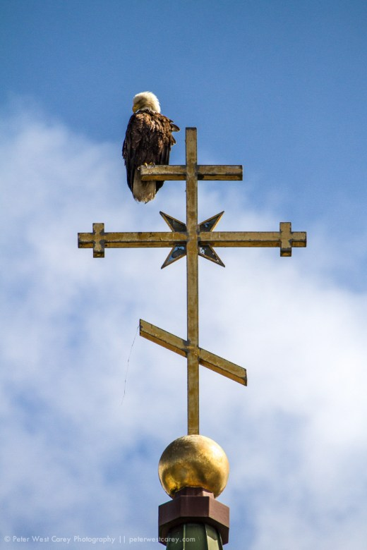 American Bald Eagle (Haliaeetus leucocephalus), Russian Church,