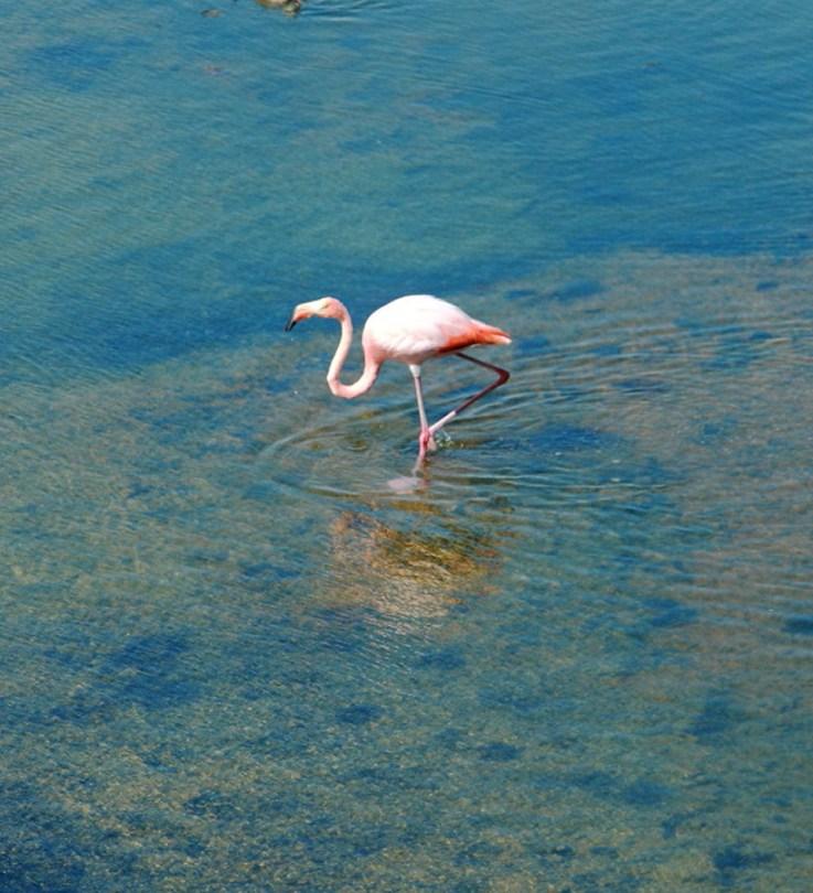 Galapagos Flamingo-1