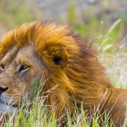 Proud, Serengeti National Park, Tanzania