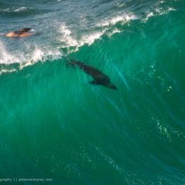 A sea lion surfs the waves off the coast of California, USA.