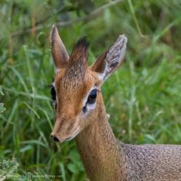 Dik Dik, Arusha National Park, Tanzania