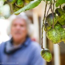 Macadamia Nuts, Moloka'i, Hawaii, USA