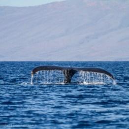 A Whale Of A Tale, Maui, Hawaii