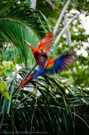 Scarlet Macaw (Ara macao), Amazon Basin, Peru