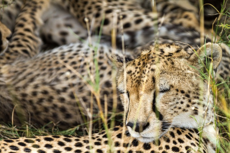 Cheetah (Acinonyx jubatus) Family Relaxing, Serengeti National P