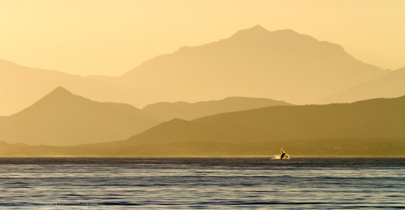 Breaching Humpback Whale At Sunset, Gulf Of Mexico, Baja Califor
