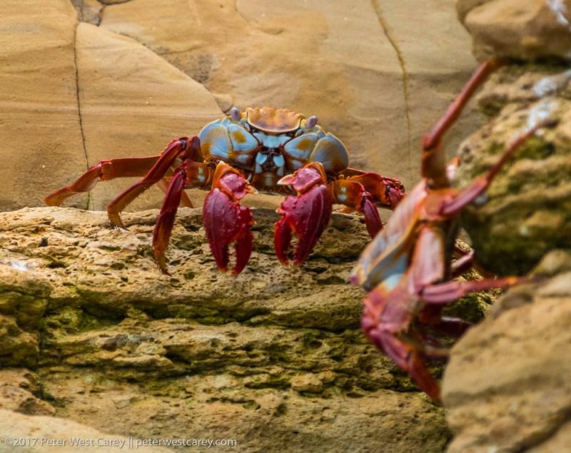 Sally Lightfoot Crab or Grapsus grapsus