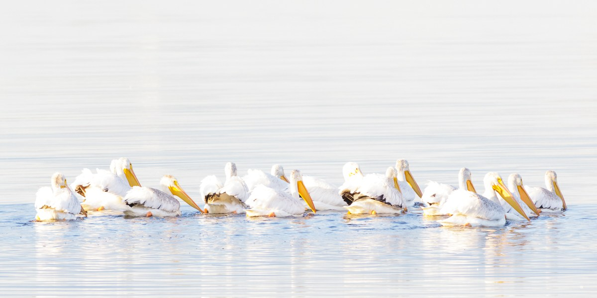 Photo Of The Day – American White Pelicans On Whidbey Island